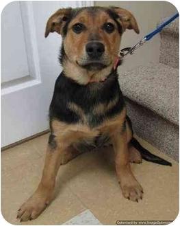 Shepherd (Unknown Type) Mix Puppy for adoption in Morden, Manitoba - Jaffa
