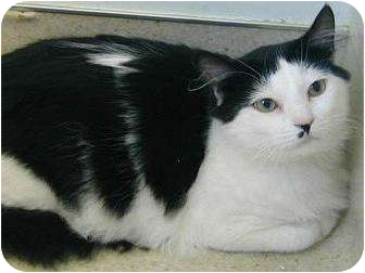 Domestic Shorthair Cat for adoption in Florence, Oregon - Gucci