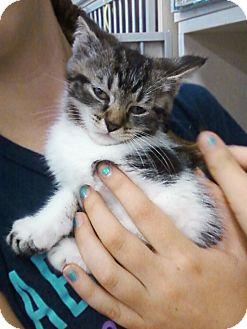 Domestic Shorthair Kitten for adoption in Riverhead, New York - Raoul