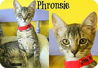 Domestic Shorthair Kitten for adoption in Mobile, Alabama - Phronsie