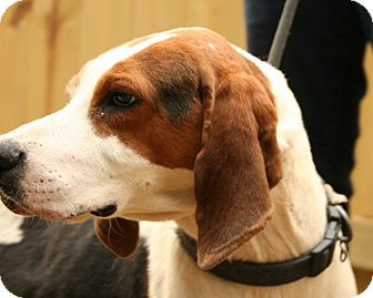 Treeing Walker Coonhound/Beagle Mix Dog for adoption in Snohomish, Washington - Totally Chill Tobias!