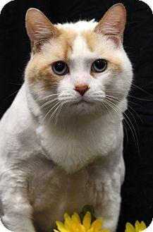 Domestic Mediumhair Cat for adoption in Sacramento, California - Beau