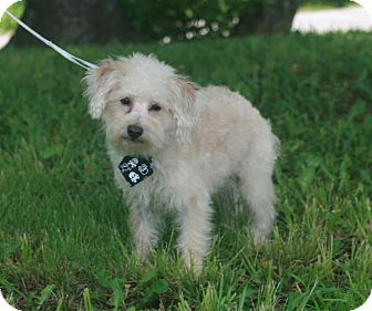 Poodle (Miniature) Mix Dog for adoption in Atchison, Kansas - Scooby