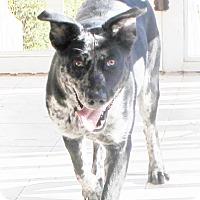 Adopt A Pet :: Brandy - Chapel Hill, NC