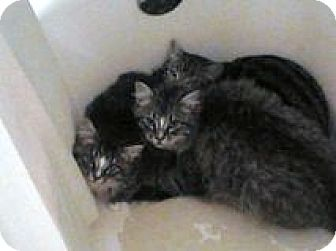 Maine Coon Cat for adoption in Vancouver, Washington - Nicodemus