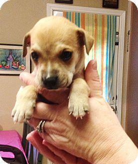 Boxer/German Shepherd Dog Mix Puppy for adoption in New Braunfels, Texas - Stanley