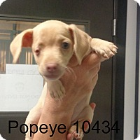 Adopt A Pet :: Pop eye - Greencastle, NC