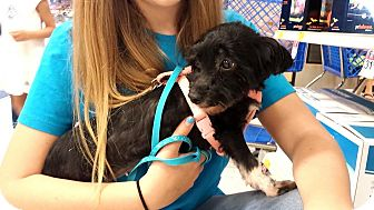 Havanese Dog for adoption in Cincinnati, Ohio - Jazzy