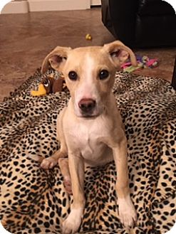Labrador Retriever/Australian Shepherd Mix Puppy for adoption in Scottsdale, Arizona - Sammy