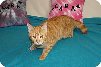 Domestic Shorthair Cat for adoption in Jackson, Mississippi - Frisco