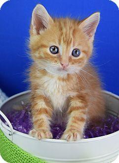 Domestic Mediumhair Kitten for adoption in Carencro, Louisiana - Cullen