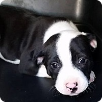 Adopt A Pet :: Honey Bear - Gainesville, FL