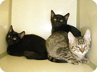 Domestic Shorthair Kitten for adoption in Olympia, Washington - 47200
