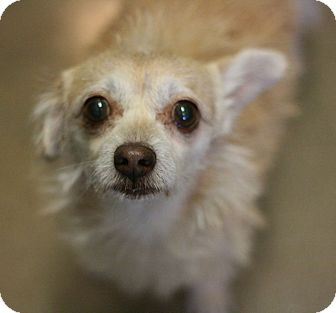 Terrier (Unknown Type, Small) Mix Dog for adoption in Canoga Park, California - Blondie
