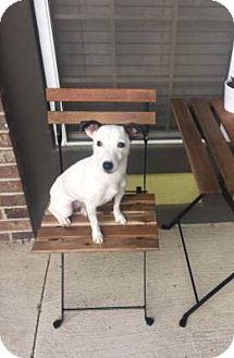 Jack Russell Terrier Dog for adoption in Austin, Texas - Pavie in Austin
