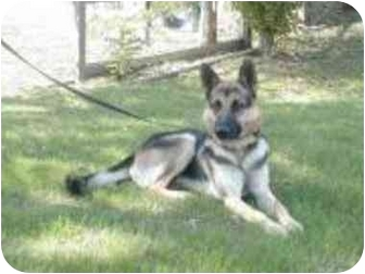 German Shepherd Dog Dog for adoption in Silver Spring, Maryland - Silas