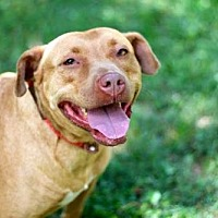 Pit Bull Terrier Dog for adoption in Washington, D.C. - LADY LAUREL