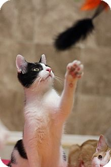 Domestic Mediumhair Cat for adoption in Hartselle, Alabama - KitKat