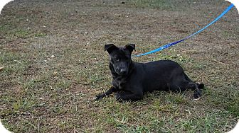 Australian Cattle Dog/Labrador Retriever Mix Puppy for adoption in Oviedo, Florida - Kelly