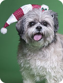 Shih Tzu/Lhasa Apso Mix Dog for adoption in Chicago, Illinois - Baby