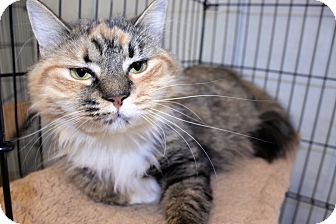 Calico Cat for adoption in Lumberton, North Carolina - Sally
