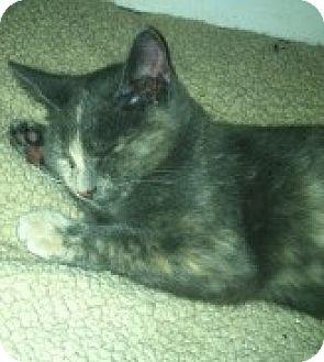 Domestic Shorthair Kitten for adoption in Trenton, New Jersey - Possum (LZ)