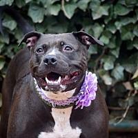 Adopt A Pet :: Molly - Brooklyn, NY