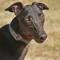 Adopt A Pet :: Lucas - Portland, OR