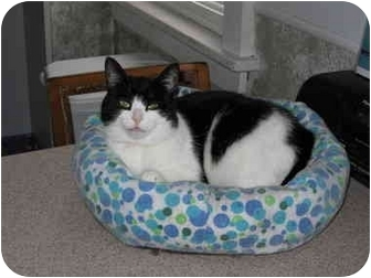 Domestic Mediumhair Cat for adoption in North Boston, New York - Vickie