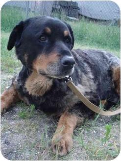 Rottweiler/German Shepherd Dog Mix Dog for adoption in Freeport, New York - Care Bear