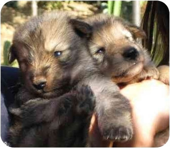 Shepherd (Unknown Type)/Australian Shepherd Mix Puppy for adoption in Poway, California - Little Rascals