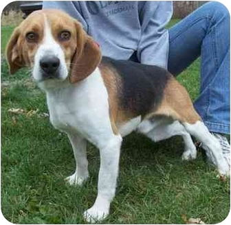 Beagle Mix Dog for adoption in North Judson, Indiana - Hoover