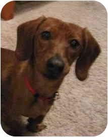 Dachshund Dog for adoption in Garden Grove, California - Bow