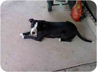 American Staffordshire Terrier/Boxer Mix Dog for adoption in Fort Worth, Texas - Little Orphan Annie
