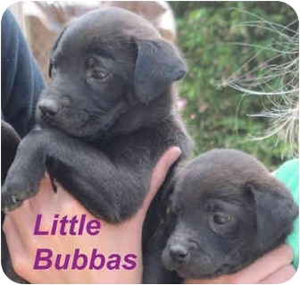 Labrador Retriever/Spaniel (Unknown Type) Mix Puppy for adoption in Poway, California - Little Bubbas