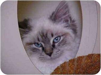 Siamese Kitten for adoption in Burnsville, North Carolina - Asper