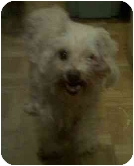 Maltese/Poodle (Toy or Tea Cup) Mix Dog for adoption in Phoenix, Arizona - Elle