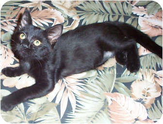 Domestic Shorthair Kitten for adoption in Tampa, Florida - Tsarina