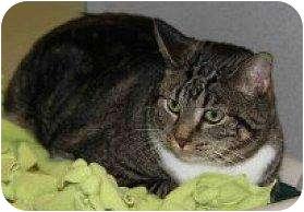 Domestic Shorthair Cat for adoption in Houston, Texas - Miss Kitty aka Succotash