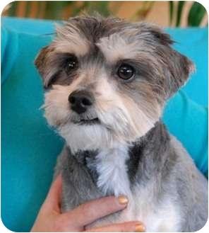 Shih Tzu Mix Dog for adoption in Las Vegas, Nevada - Bomber