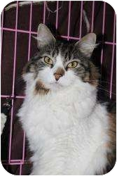 Domestic Longhair Cat for adoption in North Branford, Connecticut - Bunny