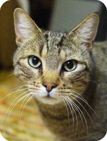 Domestic Shorthair Cat for adoption in Medford, Massachusetts - Mystik