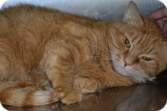 Domestic Shorthair Cat for adoption in Elyria, Ohio - Morris
