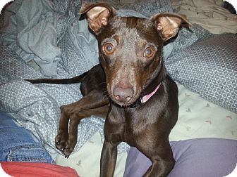 Miniature Pinscher Mix Dog for adoption in Gig Harbor, Washington - Max