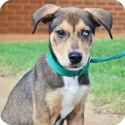 Beagle/Husky Mix Puppy for adoption in Stillwater, Oklahoma - Jairo