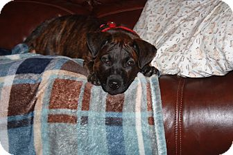 Pit Bull Terrier Mix Puppy for adoption in Homer, New York - Buck
