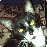 Adopt A Pet :: Mittens - Harriman, NY