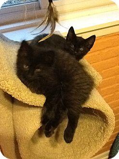 Domestic Shorthair Kitten for adoption in McHenry, Illinois - 5 female kittens