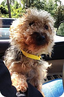 Yorkie, Yorkshire Terrier/Poodle (Miniature) Mix Dog for adoption in Gainesville, Florida - Lexi