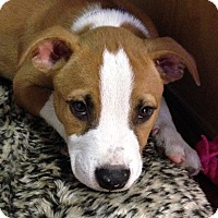 Adopt A Pet :: Sherman - Hagerstown, MD